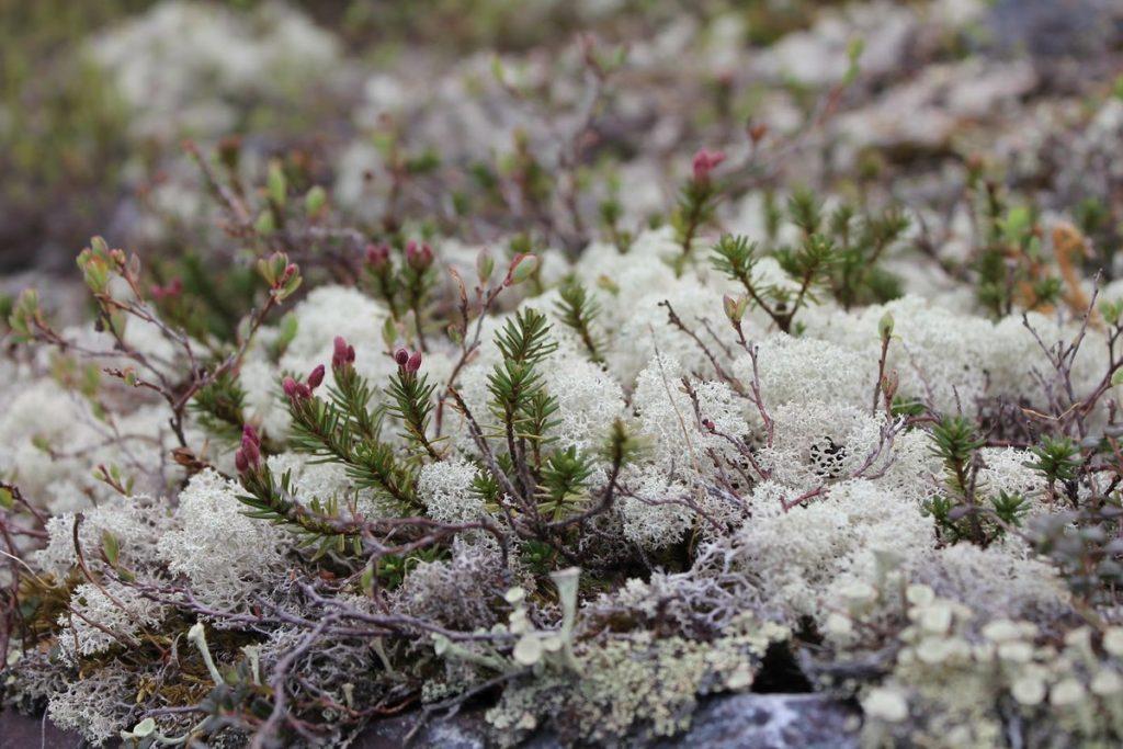 трехлетнем растения тундры список с фото очень