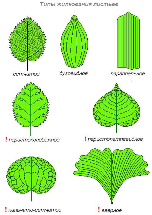 Жилкование листьев примеры с картинками