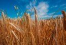 Как выгодно купить пшеницу и начать свой бизнес